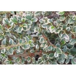 Irga purpurowa 'VARIEGATUS' p9