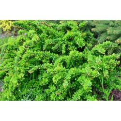 Berberys Thunberga 'Green...