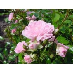 Róża pełna   'THE FAIRY'