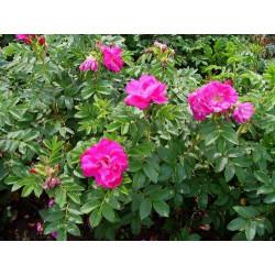Róża pomarszczona 'Dart's...